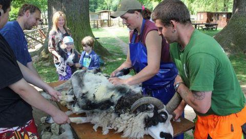 Schafschur im Haustierpark_mail_Pfingsten2012