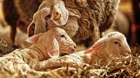 Lämmer mit Mutterschaf