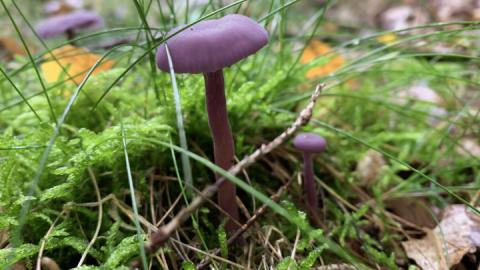 violetter-lacktrichterling