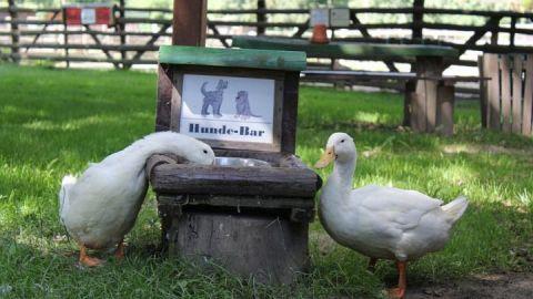 Hunde erlaubt  -  freilaufende Aylesbury-Enten auch_mail_2013