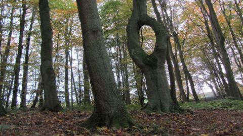 Nadelöhrbuche im Appelhäger Forst bei Teterow