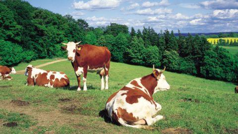 Kühe auf einer Weide, Mecklenburgische Schweiz