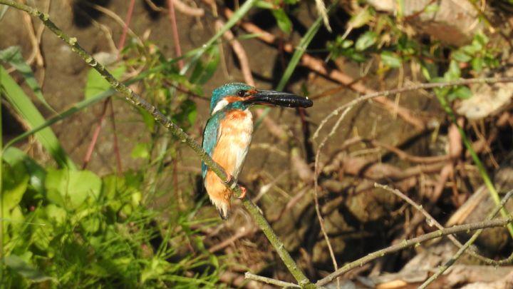 peenesafari-abenteuer-peenetal-eisvogel
